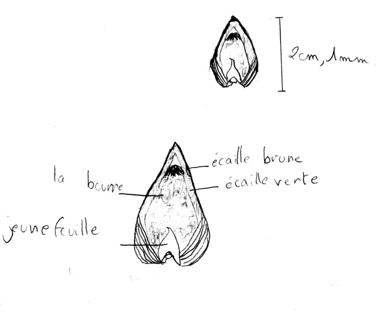 Dissection d 39 un bourgeon de marronnier coll ge jean - Dessin bourgeon ...